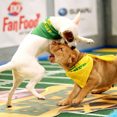 Puppy Bowl 2016 Brings Sloppy Kisses, Ruff Touchdowns and Yellow Flags: Watch the Wide Retrievers Play!
