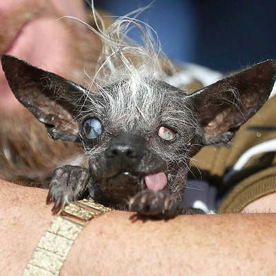 Meet the World's Ugliest Dog 2016 — Sweepee Rambo — and Another That Looks Like Donald Trump!