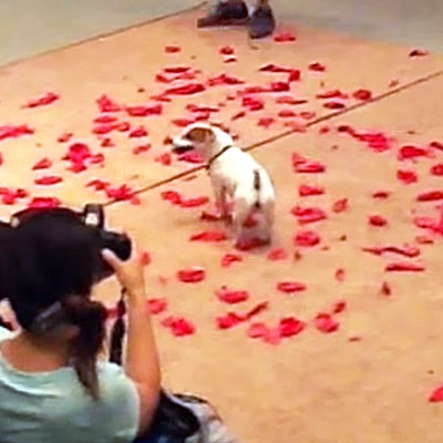 Jack Russell Terrier Breaks Guinness World Record Popping 100 Balloons